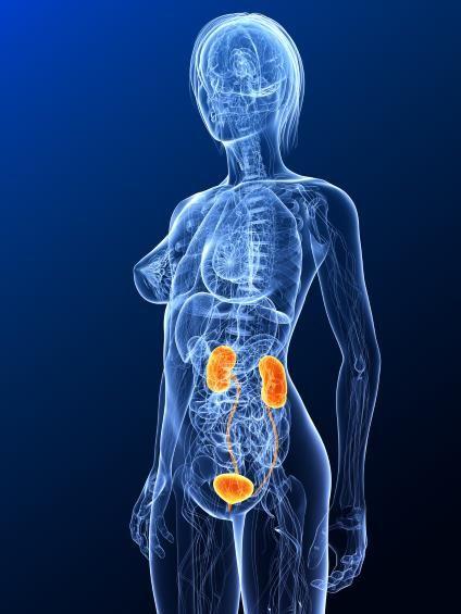 Die Nieren | Lebenswichtiges Filterorgan