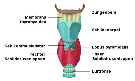 Die Schilddrüse - Anatomie, Funktion und häufige Erkrankungen