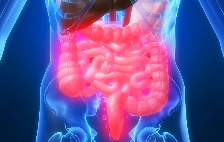 Der Darm - Aufbau, Funktion und häufige Erkrankungen