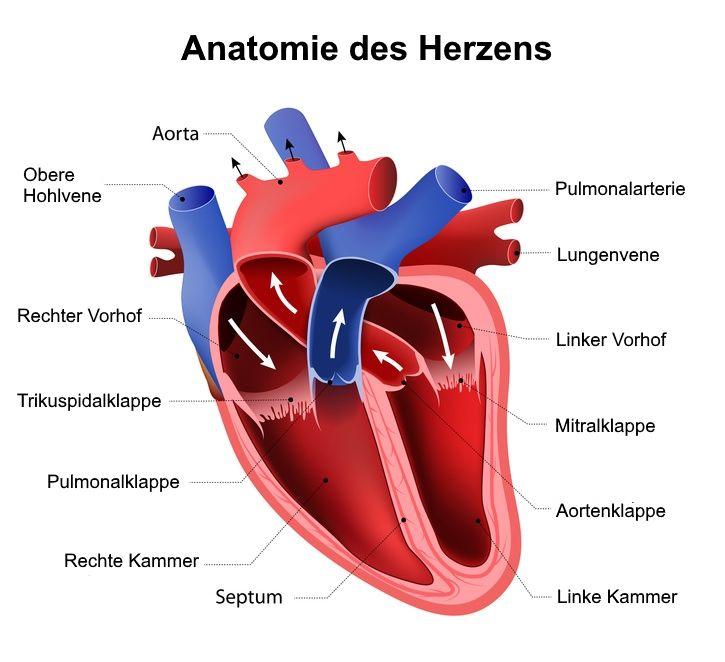 Herzkranzgefäße   Versorgung des Herzmuskels