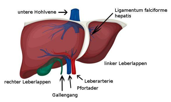 Leberkrankheiten und Leberoperationen