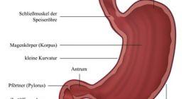 Der Magen - Anatomie, Funktionen und Erkrankungen